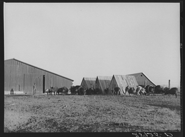 Hogs at Bois d'Arc cooperative. Osage Farms, Missouri