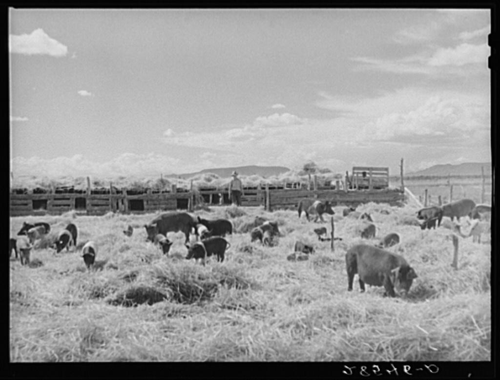 Hogs on farm of FSA (Farm Security Administration) borrower Clayton Williams. Costilla County, Colorado