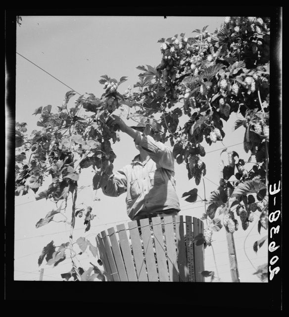 Hop vine and hop picker. Near Independence, Polk County, Oregon. See general caption number 45-1