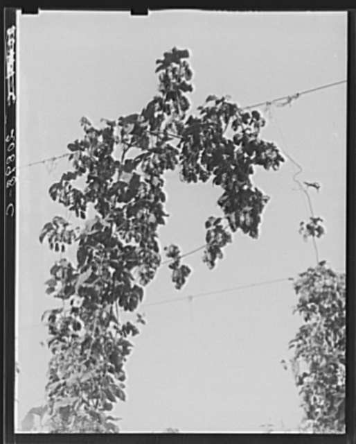 Hop vine at picking time. Near Independence, Polk County, Oregon. See general caption number 45
