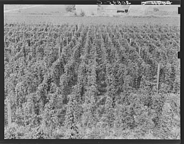 Hop yard on ranch of M. Rivard in French-Canadian colony, three weeks before picking. Yakima Valley, Moxee Valley district, Washington