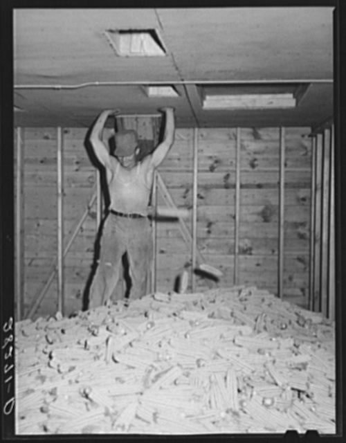 Hot air is blown through the piles of sorted hybrid seed corn in order to dry the kernels for shelling. Reinbeck, Iowa