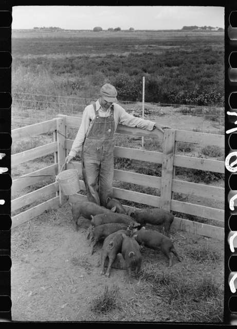Howard Crowder feeds a litter of pigs raised on his homestead at San Luis Valley Farms, Alamosa, Colorado