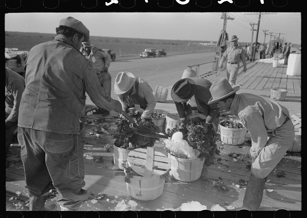 Icing spinach before packing in refrigerator cars, La Pryor, Texas