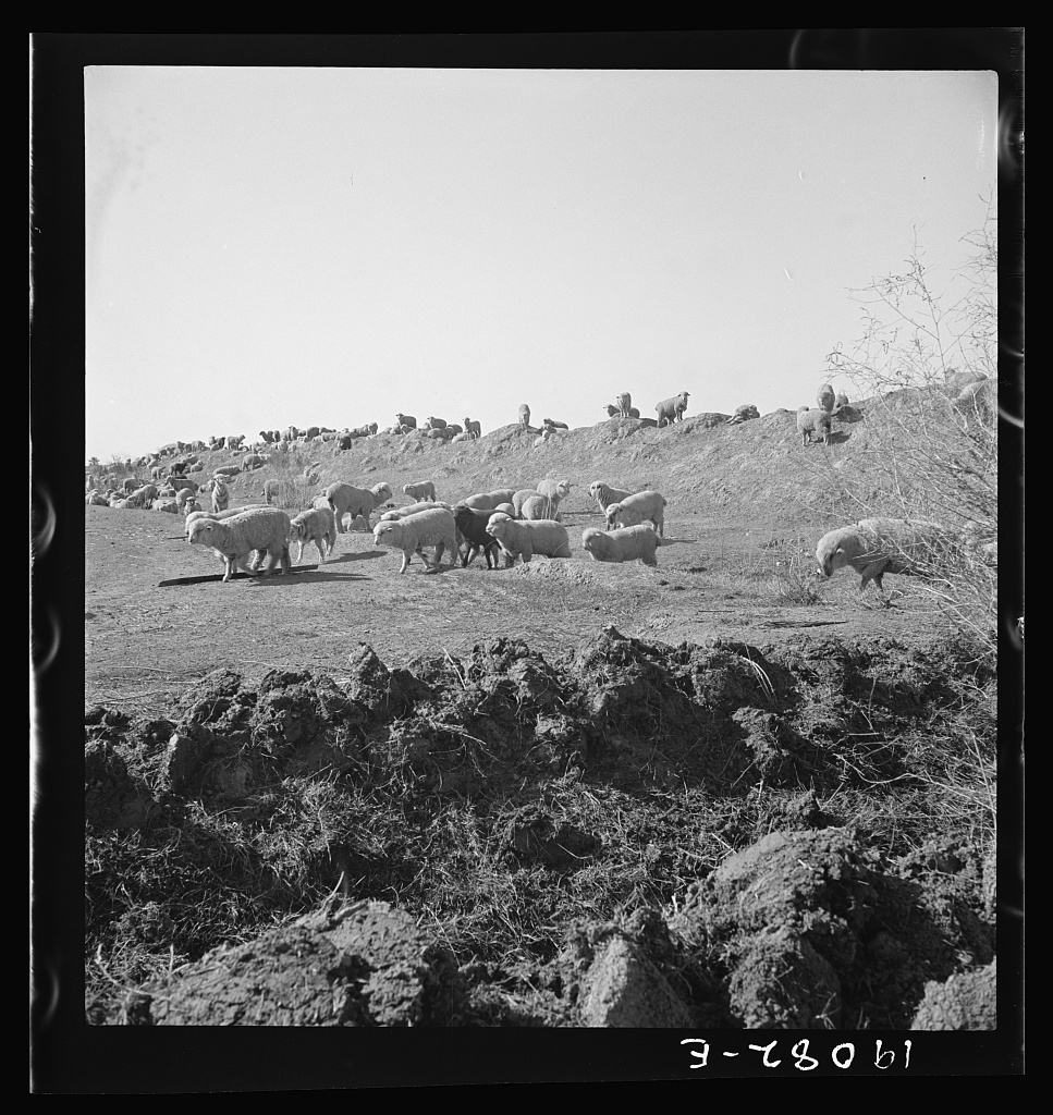 Imperial Valley, California. Sheep grazing by irrigation canal