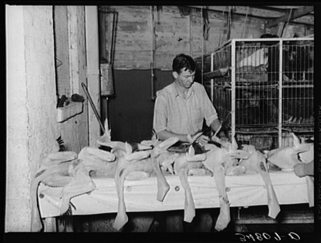 Inspecting picked turkeys at cooperative poultry house. Brownwood, Texas