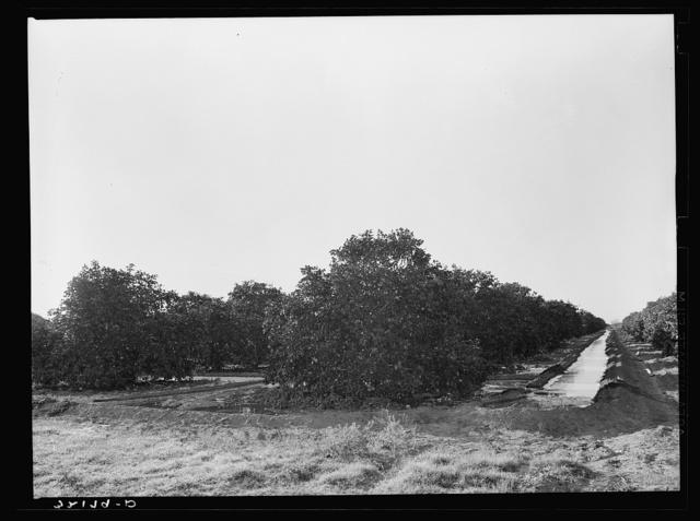 Irrigating citrus orchard near San Juan, Texas