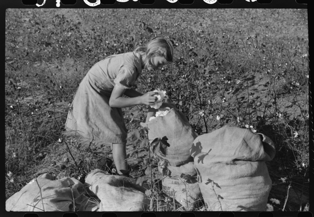 J.A. Johnson's oldest daughter picking cotton in cotton field, Statesville, North Carolina. He is a sharecropper, works about ten acres, receives half the cotton, must pay for half the fertilizer. Landlord furnishes stock and tools