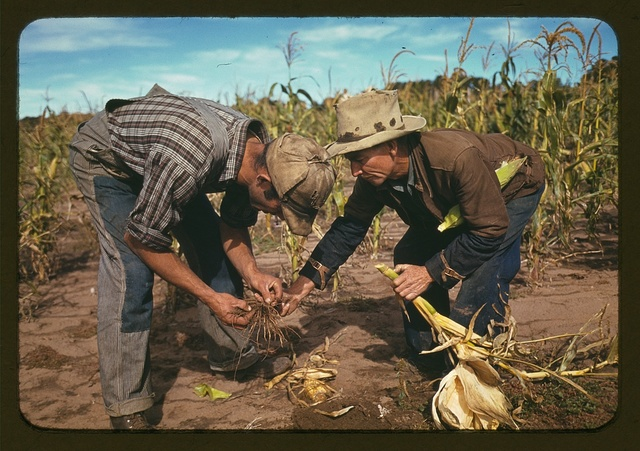 Jack Whinery and Jim Norris, homesteaders, looking at roots of stalk of corn, Pie Town, New Mexico