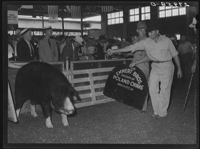Judging Poland China boars. Iowa State Fair, Des Moines, Iowa