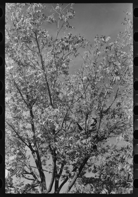 Knocking pecans out of tree, San Angelo, Texas