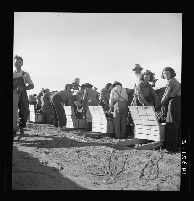 Large-scale industrialized agriculture. Calipatria, Imperial Valley, California. Migratory workers packing peas for market on edge of pea field. This is an attempt to market a field pack, in contrast to usual pack in shed
