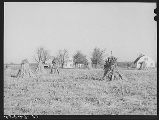 Largo is a major feed crop on the Bois d'Arc cooperative farm. Osage Farms, Missouri