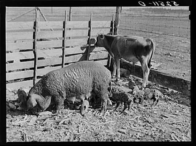 Livestock belonging to tenant purchase family, white, Crowell. Near Isola, Mississippi Delta