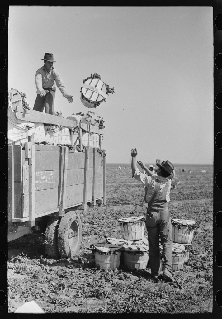 Loading baskets of spinach onto truck in fields, La Pryor, Texas