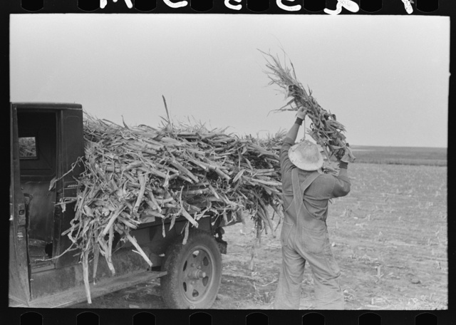 Loading corn cut for fodder, Sheridan County, Kansas