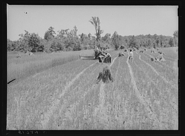 Lonny Smith harvesting his oats with binder belonging to Will Miller, also a project family. A.M. Fields, the farm supervisor, is helping and directing the work. Flint River Farms, Georgia