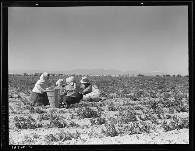 Lunchtime in the field. Camp in background. Near Calipatria, California. Pea fields