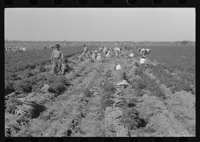 Mexican carrot workers near Edinburg, Texas