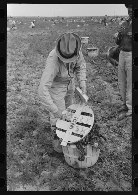 Mexican laborer contractors employ a checker who keeps track of number of baskets cut by each cutter, La Pryor, Texas. He also okays the baskets for shipping from fields