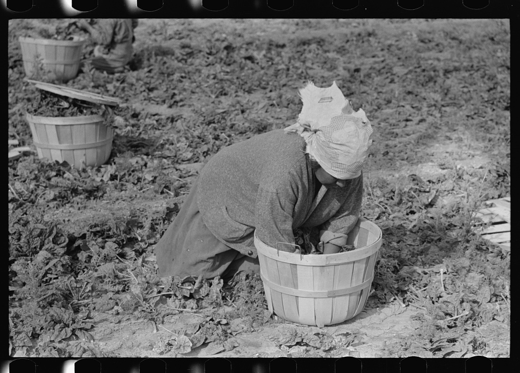 Mexican woman cutting spinach, La Pryor, Texas