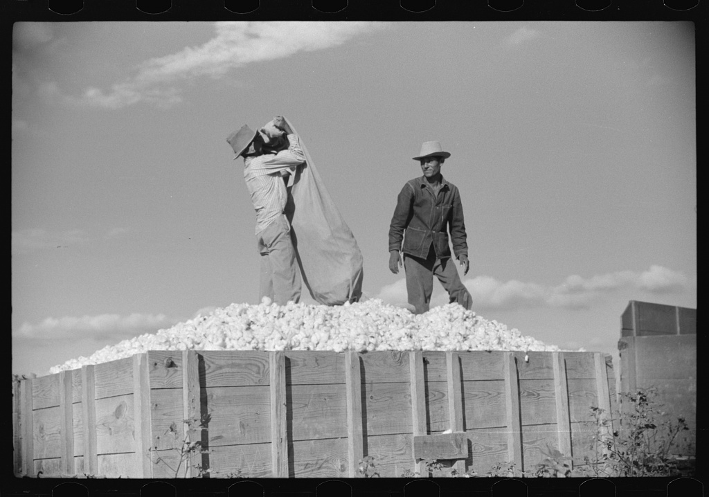 Mexicans, seasonal labor, contracted for by planters, emptying bags of cotton on Knowlton Plantation, Perthshire, Mississippi Delta, Mississippi