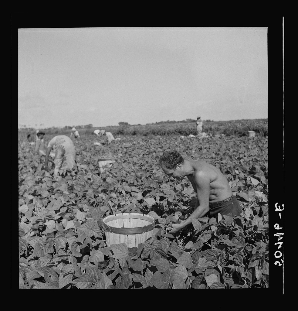 """Migrant laborer from Ohio, picking beans. He said """"This is some profession for a man isn't it? Freud and Adler should come around here and study living conditions and they'd have a lot more to say about the reasons for human beings' behavior. Four of us guys live in a palace in these Glades."""" Near Homestead, Florida"""