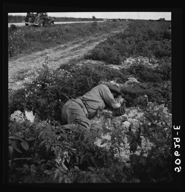 Migrant vegetable worker sleeping in tomato field during his lunch hour near Homestead, Florida