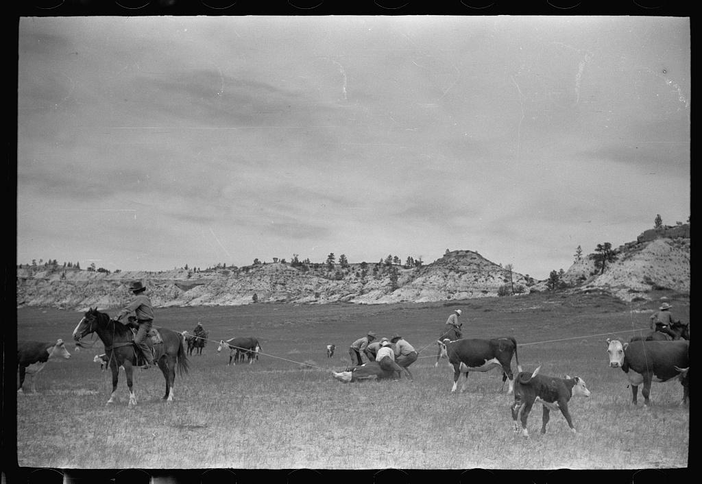 Milking a wild cow, Quarter Circle U roundup, Montana
