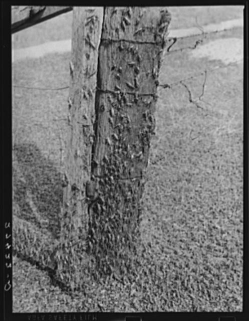 Mormon crickets on gate post. Big Horn County, Montana