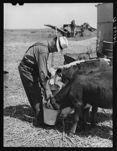 Mr. Bosley of reorganization unit, Baca County, Colorado, feeding calves. Livestock are a most essential part of the reorganization program
