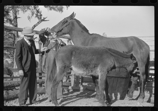 Mr. Hydrick, county supervisor, and Mr. Melody Tillery examining mouth and teeth of his mare, which has mule colt. Pike County, near Tray, Alabama. Rural rehabilitation family