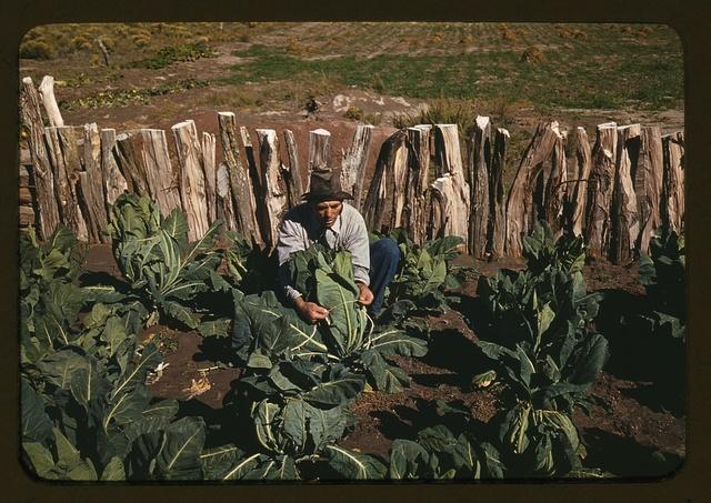 Mr. Leatherman, homesteader, tying up cauliflower, Pie Town, New Mexico