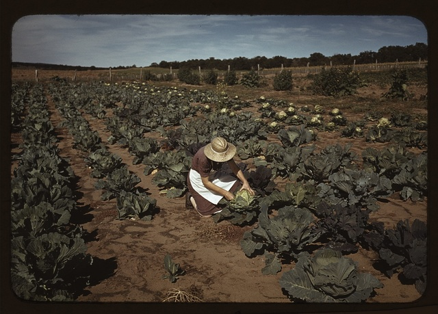 Mrs. [Jim] Norris with homegrown cabbage, one of the many vegetables which the homesteaders grow in abundance, Pie Town, New Mexico