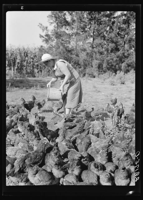 Mrs. Maxwell feeding chickens. Jasper County, Iowa