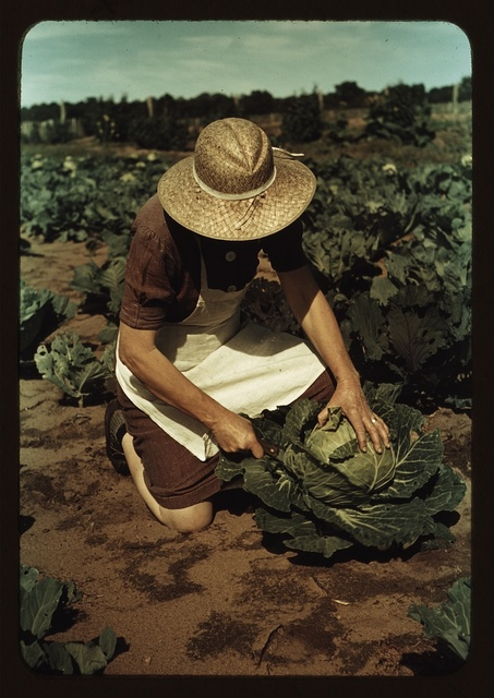 Mrs. Norris with homegrown cabbage, one of the many vegetables which the homesteaders grow in abundance, Pie Town, New Mexico