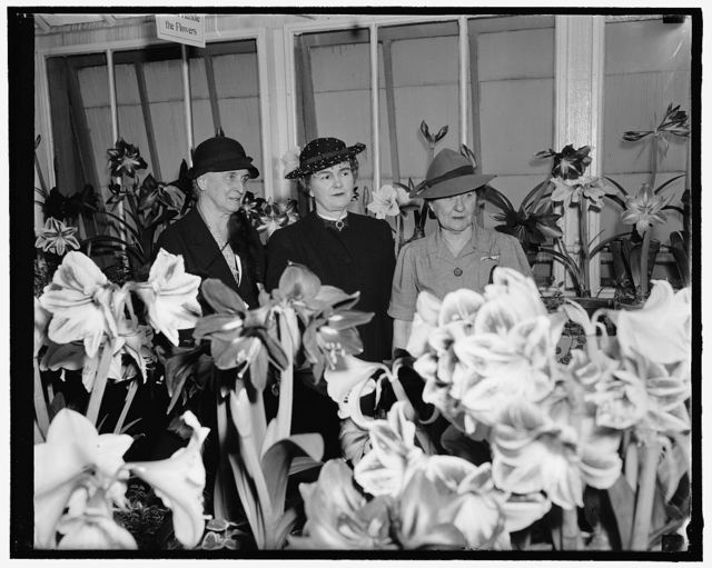 Mum show opened. Washington, D.C., March 25. With thousands of blooms at their best, Mrs. Henry A. Wallace, wife of the Secretary of Agriculture, today officially opened the Amaryllis Show at greenhouses of the Department of Agriculture here. She is pictured with her first two guests, Mrs. John N. Garner, right, wife of the Vice President, and Mrs. Hugh S. Cumming, left, wife of the former U.S. Surgeon General. 3-25-39