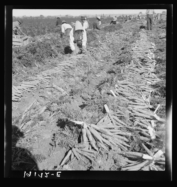 Near Meloland, Imperial Valley. Large scale agriculture. Gang labor, Mexican and white, from the Southwest. Pull, clean, tie and crate carrots for the eastern market for eleven cents per crate of forty-eight bunches. Many can barely make one dollar a day. Heavy oversupply of labor and competition for jobs keen