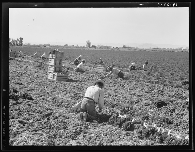 Near Meloland, Imperial Valley. Large scale agriculture. Gang labor, Mexican and white, from the Southwest. Pull, clean, tie and crate carrots for the eastern market for eleven cents per crate of forty-eight bunches. Many can make barely one dollar a day. Heavy oversupply of labor and competition for jobs is keen