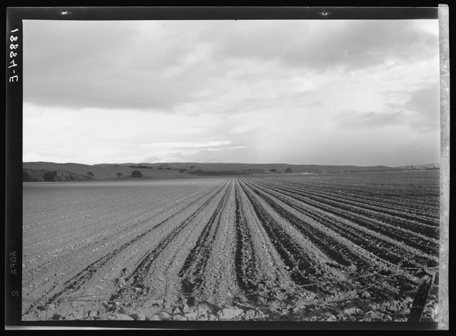 Near San Juan Bautista. Large-scale pea field. California