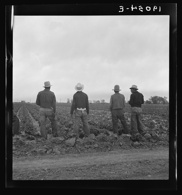 Near Westmorland, Imperial Valley. Filipinos waiting for the signal to start cutting lettuce. California