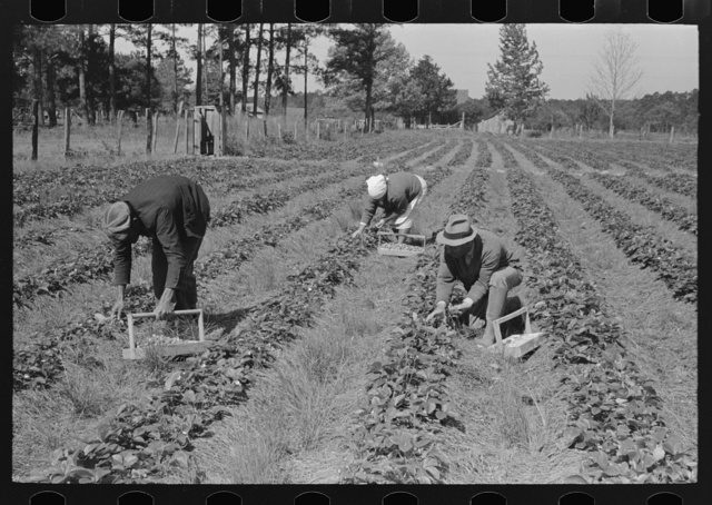 Negro intrastate migrant worker, Italian grower and his wife picking berries in field near Hammond, Louisiana