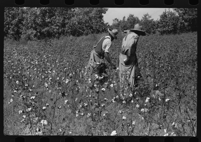 Negro sharecropper, Will Cole, picking cotton. The owner is Mrs. Rigsby, a white woman. About five miles below Chapel Hill, going south on highway toward Bynum in Chatham County, North Carolina