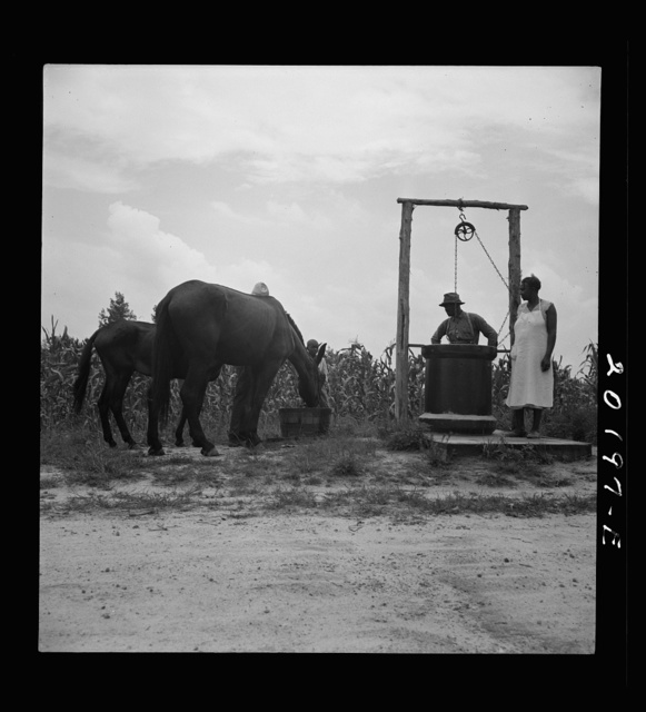 Noontime chores. Mules are brought in from the field and watered at well across the road from the house. Granville County, North Carolina