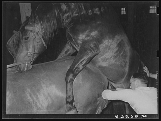 Obtaining semen from stallion for artificial insemination experiments. Miles City, Montana