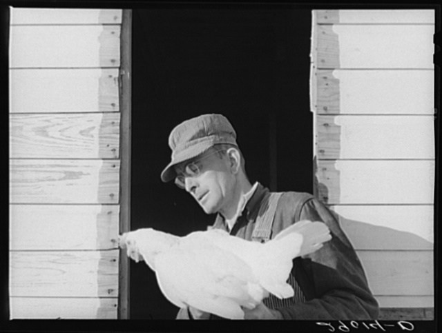 One man devotes his full time to caring for the poultry at the Bois d'Arc Cooperative. Osage Farms, Missouri