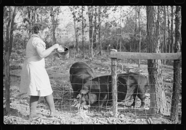 One of the Wilkins family feeding the hogs. Tally Ho, near Stem, Granville County, N. Carolina