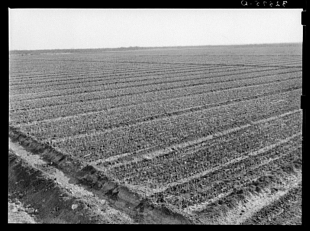 Onion field, irrigated, near Eagle Pass, Texas