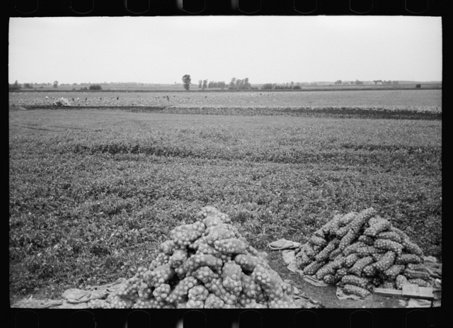 Onion field, Rice County, Minnesota