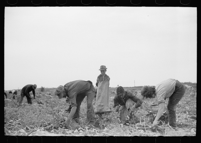 Onion field workers, Rice County, Minnesota